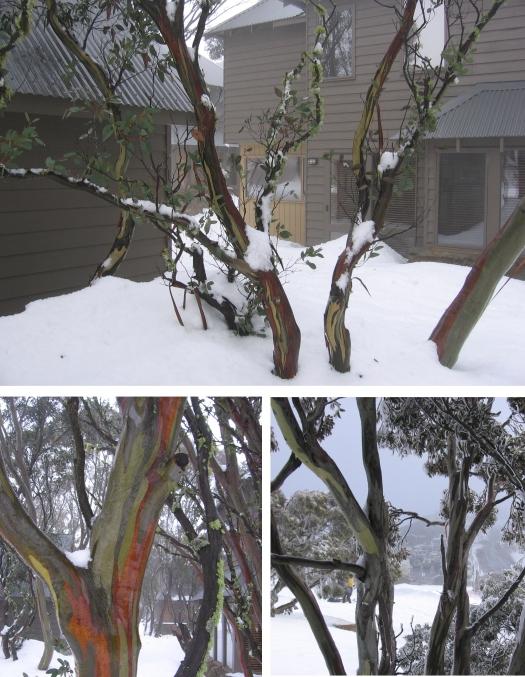 snowgums